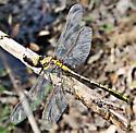 Clubtail Dragonfly - Gomphidae