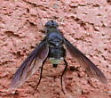 Inky Bee-fly - Anthrax aterrimus