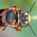 Red & Black bee - Anthidiellum perplexum? - Anthidiellum perplexum - male
