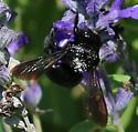 Black Bee - Xylocopa micans