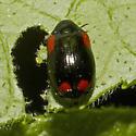 Beetle: 2012.04.27.20222 - Babia quadriguttata