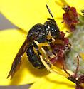 Yellow-legged bee on chocolate flower - Pseudopanurgus aethiops - male