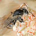 Unknown Bee in Mentzelia involucrata (part I) - Xeralictus timberlakei - female