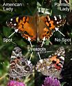 American and Painted Ladies At A Glance - Vanessa