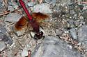 Band-winged Meadowhawk - Sympetrum semicinctum - male