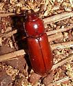 Beetle - Neandra brunnea