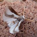 mesquite stinger moth - Norape tenera