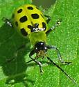 Western Spotted Cucumber Beetle - Diabrotica undecimpunctata