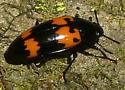 Beetle - Megalodacne heros
