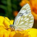 Checkered White - Pontia occidentalis