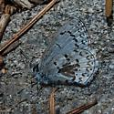 Unknown Lepidoptera - Celastrina