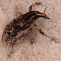 Sand dune weevil - Apleurus saginatus