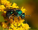 green sweat bee 10-04-13 - Augochloropsis metallica