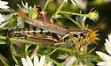 Spur-throated grasshopper - Melanoplus femurrubrum - female