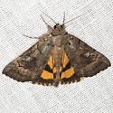 Similar Underwing Moth - Hodges #8873 - Catocala similis