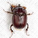 Earth-Boring Scarab Beetle - Eucanthus