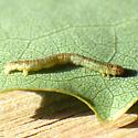 Pale Metanema (Metanema inatomaria)  - Metanema inatomaria
