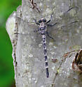 Gray Petaltail - Tachopteryx thoreyi