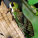 Cicada - Neotibicen superbus