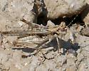 Weird-eyed grasshopper - Derotmema haydeni - male
