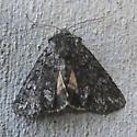moth - Lasionycta secedens