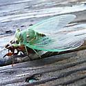 Hatching Cicada - Megatibicen resh