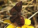 duskywing - Erynnis baptisiae