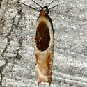 Ancylis burgessiana - male