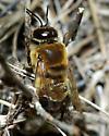 Drone Honeybee - Apis mellifera - male