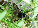 Sawfly - Cimbex americana