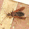 Leaf-footed Pine Seed Bug - Dorsal with Visible Wings - Leptoglossus corculus