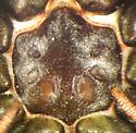 Sphodros niger - male