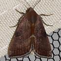 The Wedgeling Moth - Hodges #9688  - Galgula partita - female
