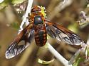 Poecilanthrax effrenus? bee fly - Poecilanthrax effrenus