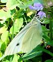 Cabbage White Butterfly - Pieris rapae - female