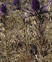 large stick-like mantis - side view - Brunneria borealis - female