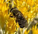 Fat-thighed Fly - Lejops polygrammus