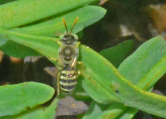 Tiny, fast-moving bees  - Calliopsis - male