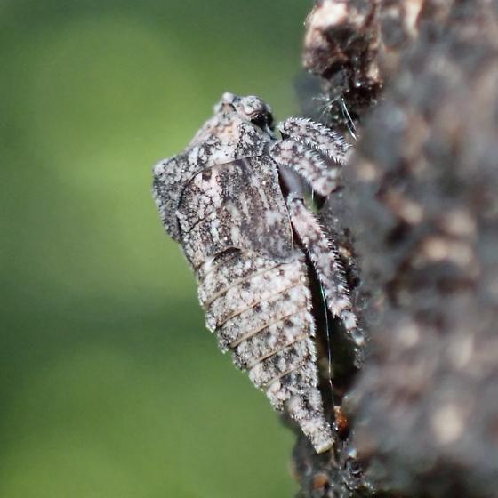 Large treehopper nymph