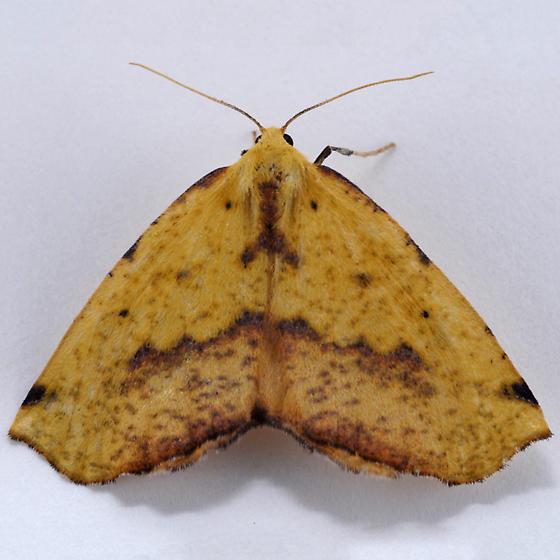 Unknown Geometrid - Sicya macularia - female