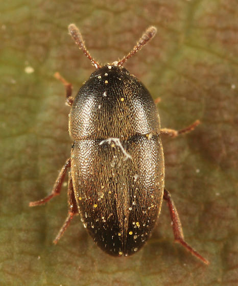 small beetle - Colon asperatum