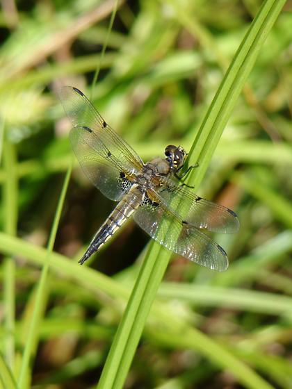 Four-Spotted Skimmer - Libellula quadrimaculata