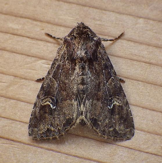 Noctuidae: Apamea unanimis - Apamea unanimis
