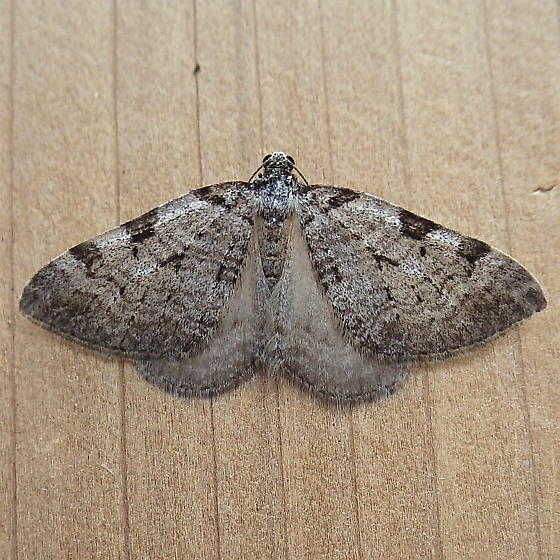 Geometridae: Perizoma costigutta - Perizoma costiguttata