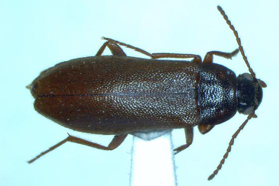 Mallodrya subaenea (Synchroidae) - Mallodrya subaenea