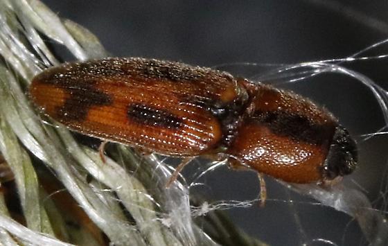 Beetle - Aeolus