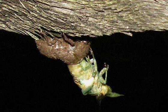 Swamp Cicada Molt - Neotibicen tibicen