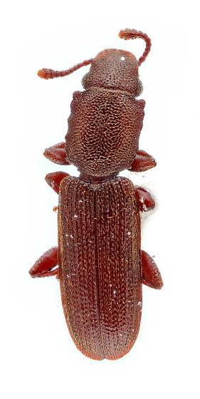 flat bark beetle - Nausibius repandus