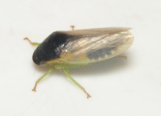 Cicadellidae, lateral - Gypona melanota - male