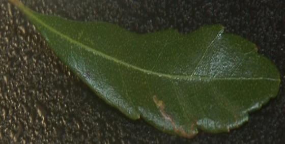 St. Andrews Leaf miner on Myrica cerifera SA723 2017 1 - Stigmella myricafoliella